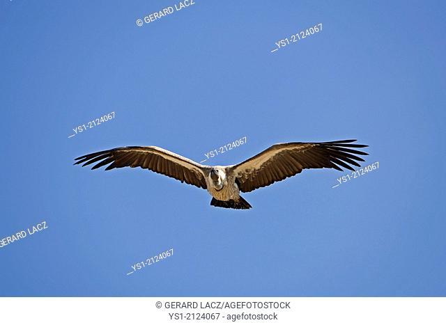 Griffon Vulture, gyps fulvus, in Flight