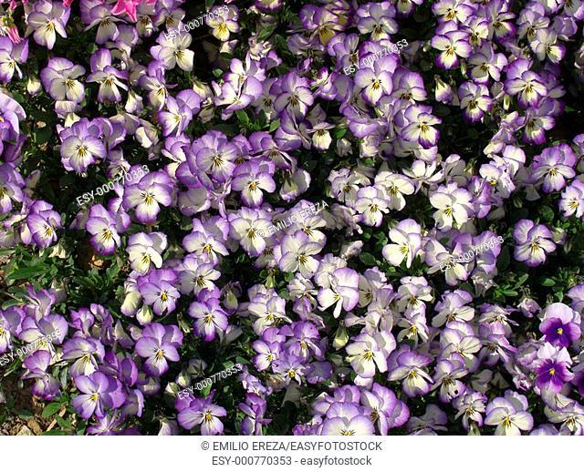 Dwarf pansies Viola hybr