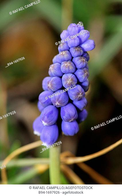 Muscari sp  genus of perennial bulbous  The common names for the genus are Grape Hyacinth and Baby's Breath  Fam  Asparagaceae  Osseja  Languedoc Roussillon...
