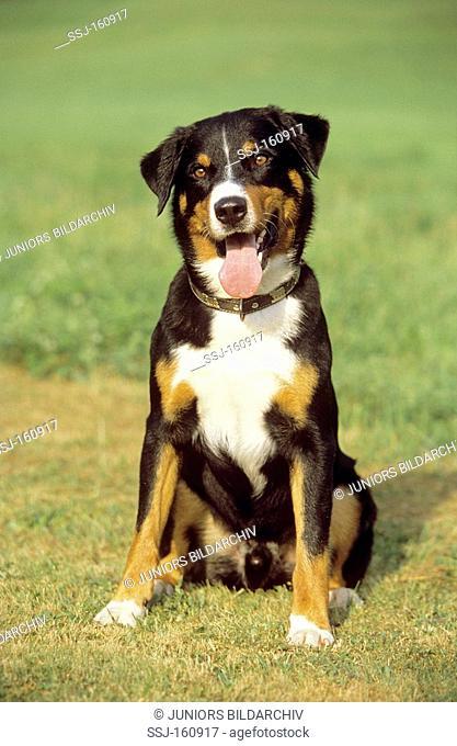 Appenzeller Sennenhund Stock Photos And Images Agefotostock