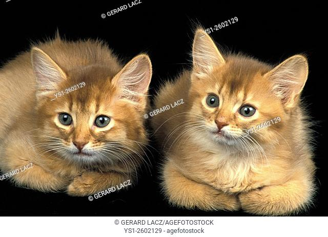 Red Somali Domestic Cat, Kittens laying agains Black Background