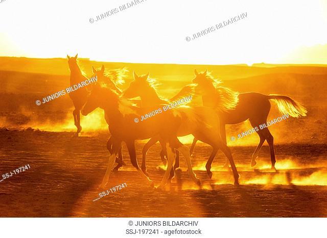 Arabian Horse. Herd of young mares in golden evening light in dusty desert. Egypt