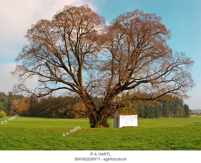 small-leaved lime, littleleaf linden, little-leaf linden (Tilia cordata), 500 years old tree with small chapel in autumn, Germany, Bavaria