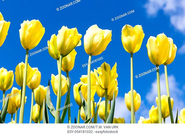 Yellow tulips over a blue sky background. Spring season background