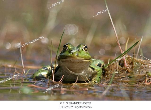 Green frog in the wading pool
