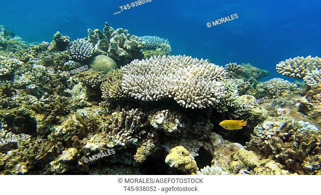 Acropora and damselfish on N'gouja reef, underwater landscape, Mayotte, Comoros archipelago, France