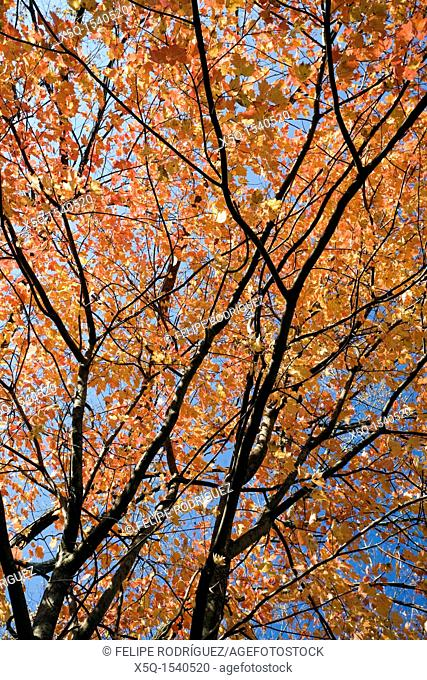 Detail of maple tree branches in the fall, CT, USA