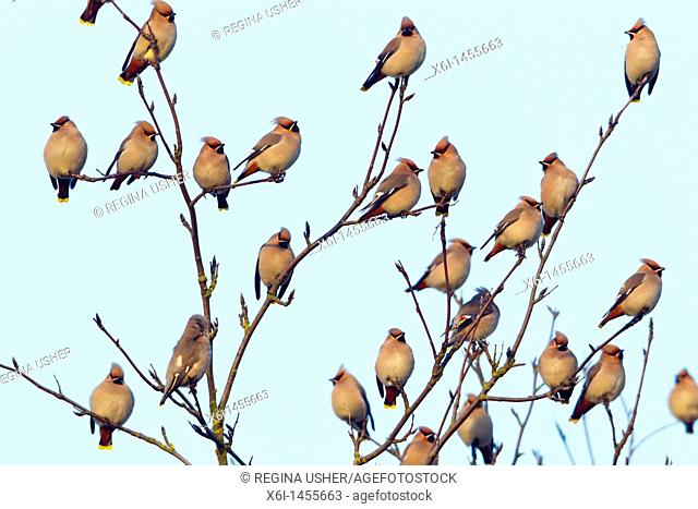 Waxwing Bombycilla garrulus, flock perched in tree, Lower Saxony, Germany