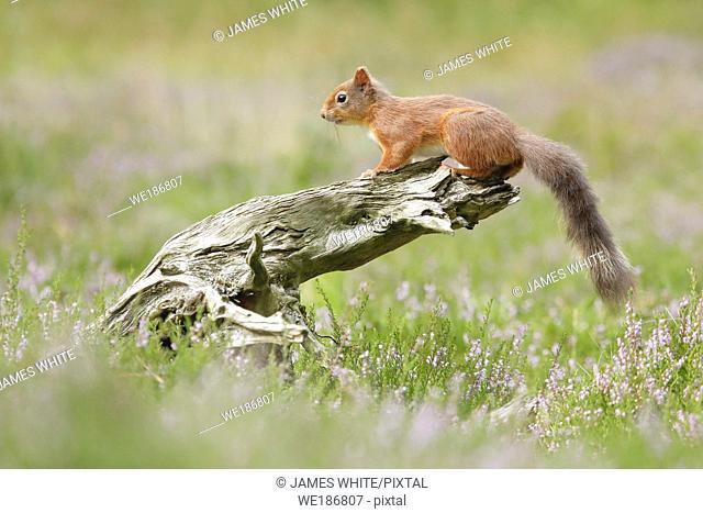 Eurasian Red Squirrel, Sciurus vulgaris, Scotland