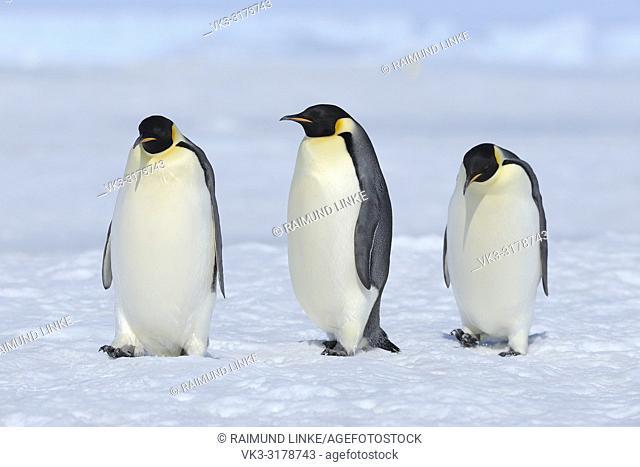 Emperor penguins, Aptenodytes forsteri, Tree Adults, Snow Hill Island, Antartic Peninsula, Antarctica
