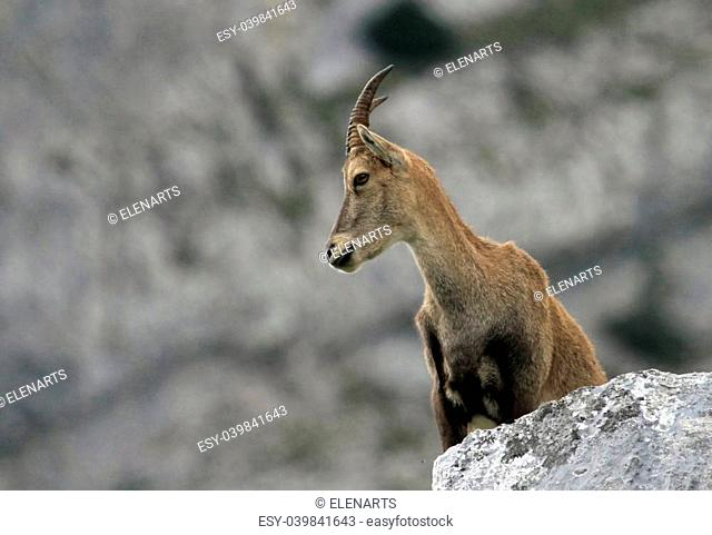 Female alpine ibex (capra ibex) or steinbock standing on a rock in Alps mountain, France