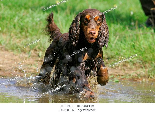 English Cocker Spaniel. Adult running in water. Germany