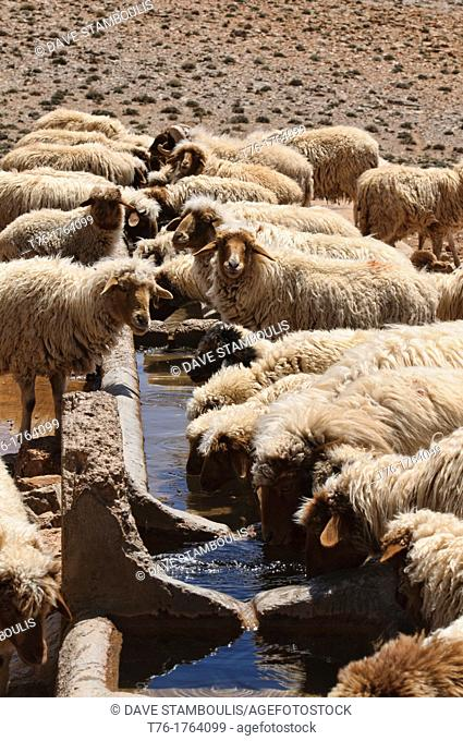 sheep having a drink in the Southern Atlas Mountains, Morocco