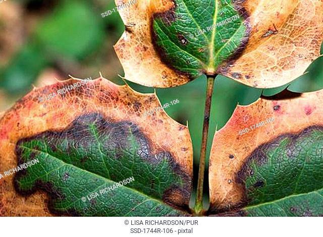 Close-up of Berberidaceae leaves