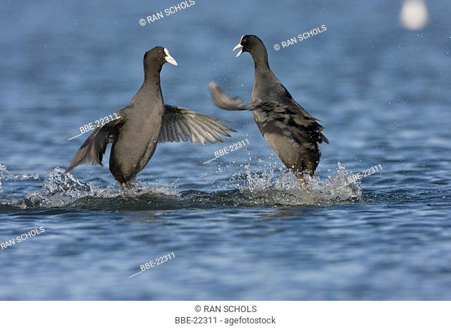 Common Coots fighting for food and territory