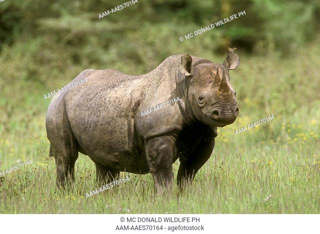 Black Rhinoceros (Diceros bicornis) Lake Nakuru NP, Kenya