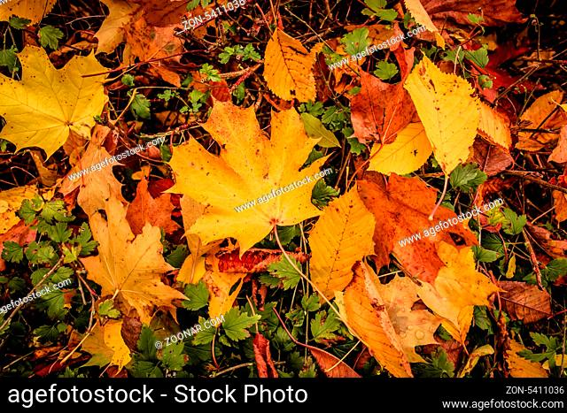 Fallen leaf in grass at autumn time