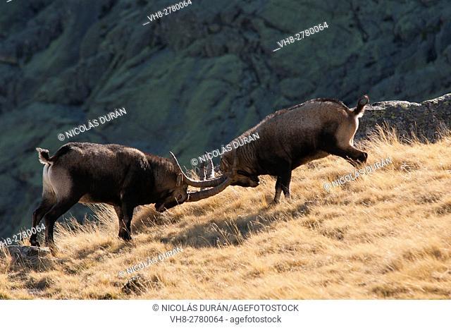 Spanish Ibex (Capra pyrenaica). Males fighting in rut. Gredos range. Avila province, Castile and Leon, Spain