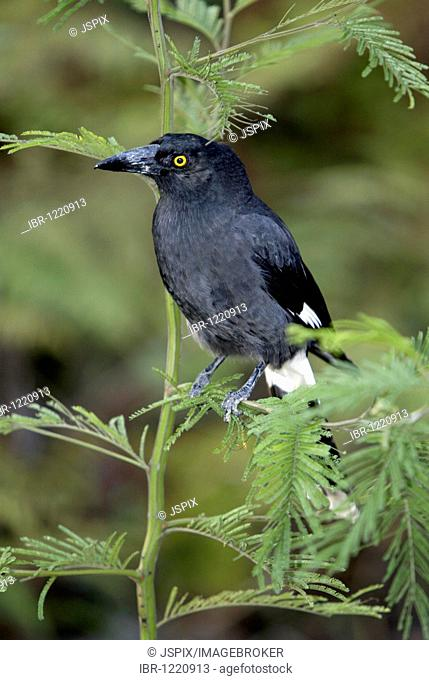 Pied currawong, (Strepera graculina), adult, Australia