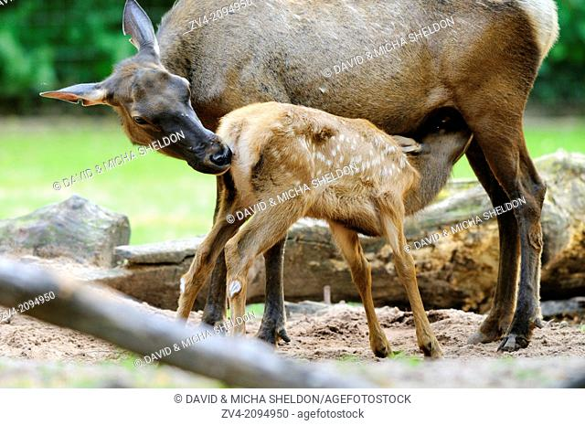 Close-up of a Wapiti (Cervus canadensis) mother feeding her youngster