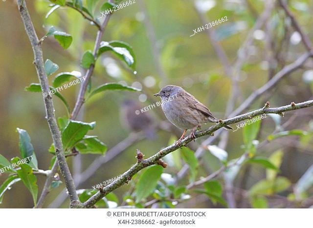 Dunnock or Hedge Sparrow, Prunella modularis, Wales, UK
