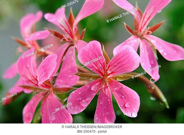Detail close up of a flower of hunging geranium with water drops rain drops