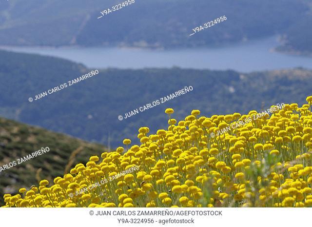 Santolina oblongifolia,cotton lavender,flowers,Asterales,Asteraceae,Candelario,Sierra de Bejar,Salamanca,Castilla y Leon,Spain