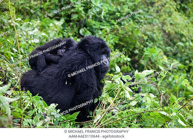 Mountain Gorilla (Gorilla beringei beringei), female with young riding on back, Volcanoes National Park, Rwanda