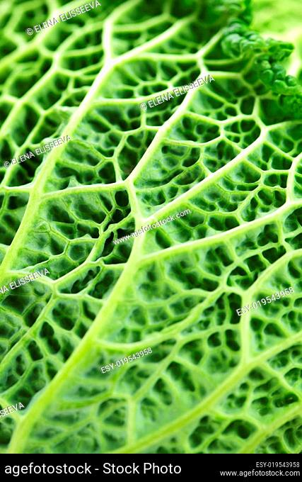 Closeup of green cabbage leaves