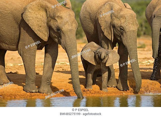 African elephant Loxodonta africana, drinking family, South Africa, Eastern Cape, Addo Elephant National Park