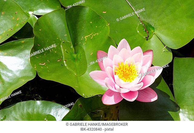 Pink Water-Lily (Nymphaea)