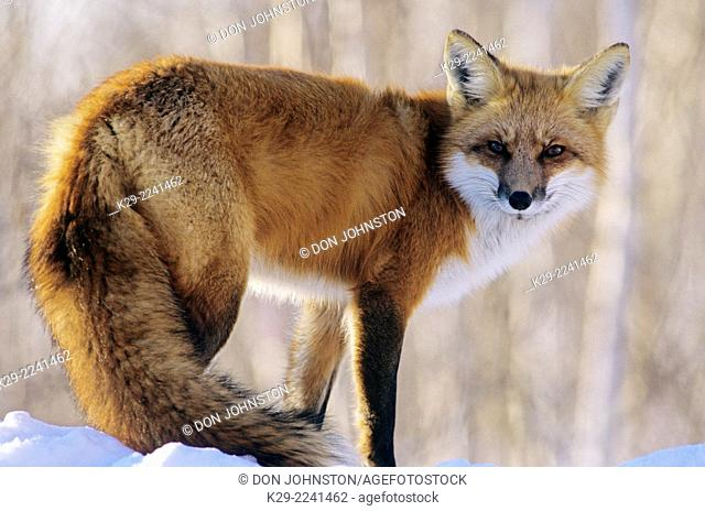 Red fox (Vulpes vulpes) snoozing in winter, Greater Sudbury, ON, Canada