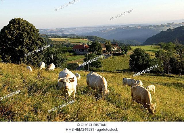 France, Puy de Dome, Parc Naturel Regional du Livradois Forez, cows and Les Chaux hamlet seen from Clairmatin