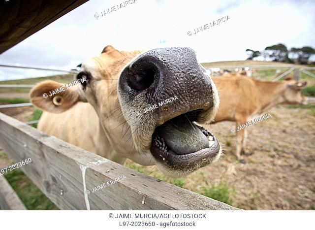 A jersey dairy cow calls out through fence, south Gippsland, Victoria state Australia