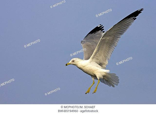 ring-billed gull (Larus delawarensis), lands, USA, Florida