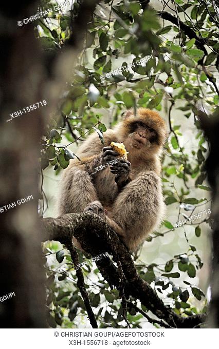 Barbary Macaque, Atlas cedar forest, near Azrou, Middle Atlas, Morocco, North Africa