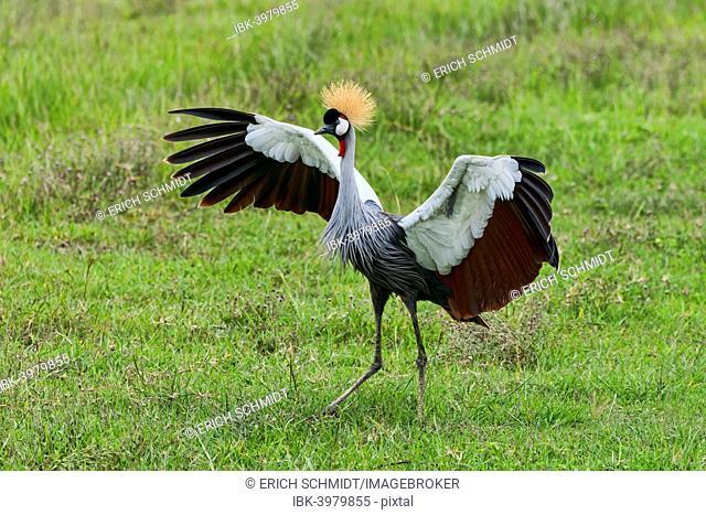 Grey Crowned Crane (Balearica regulorum), Ngorongoro, Tanzania