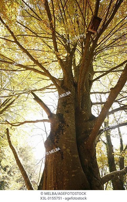 Grevolosa Beech wood. Barcelona. Catalonia. Spain
