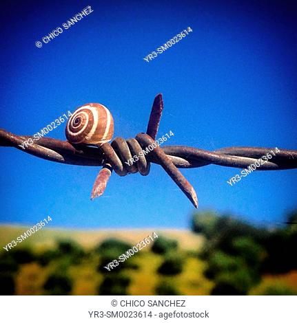 A snail perches on a barbed wire in Prado del Rey, Sierra de Cadiz, Andalusia, Spain