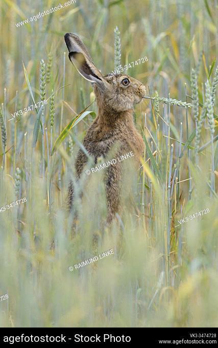 European brown hare, Lepus europaeus