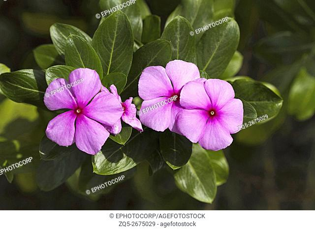 Periwinkle Floral diversity in coastal Goan village of Nerul North Goa