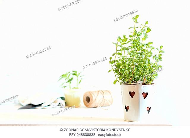 Spring gardening light concept. Fresh mint in pot on a white table, hank of rope, gardening tools and white wall background