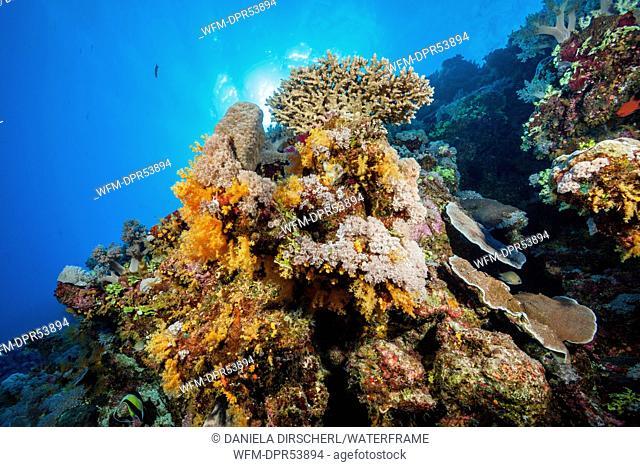 Coral Reef, Osprey Reef, Coral Sea, Australia