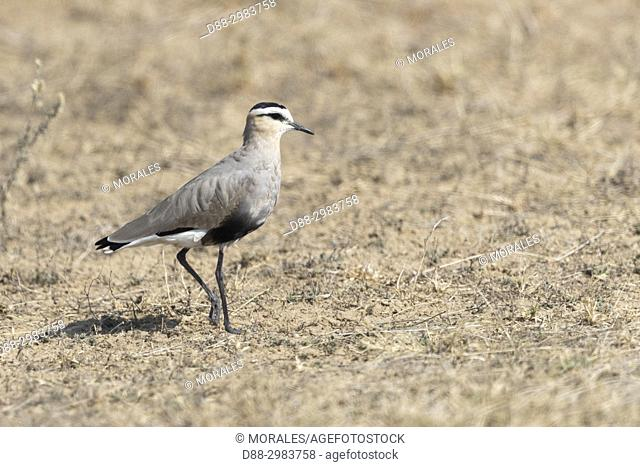 Asia, India, Rajasthan, Bikaner, Sociable Lapwing (Vanellus gregarius), estimated worldwide population of a few thousand, some winter in northern India