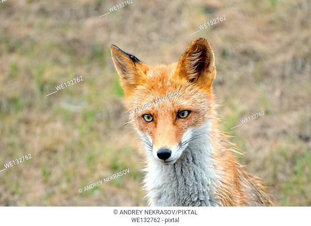 Portrait of a curious, wet red fox (Vulpes vulpes), Vladivostok, Far East, Russia
