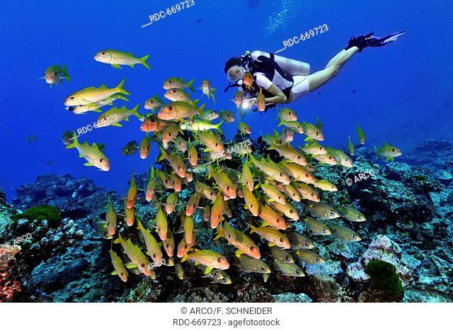 diver and Yellowfin goatfish, Thailand, Asia, Indian ocean / (Mulloidichthys vanicolensis)