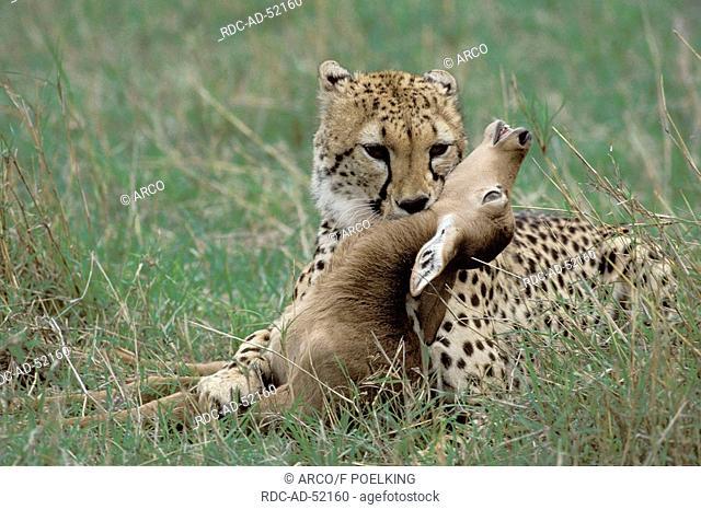 Cheetah with seized Impala Massai Mara Game Reserve Kenya Acinonyx jubatus Aepyceros melampus