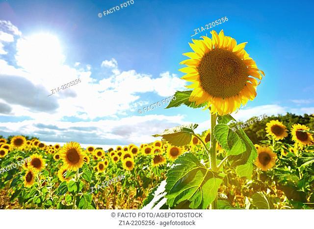 Sunflowers field. Burgos. Castile and Leon. Spain
