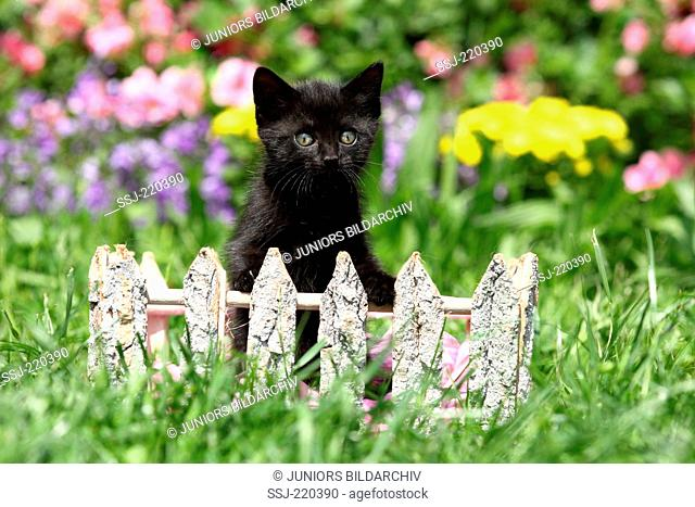 European Shorthair. Black kitten (6 weeks old) behind a small wooden fence in a garden. Germany