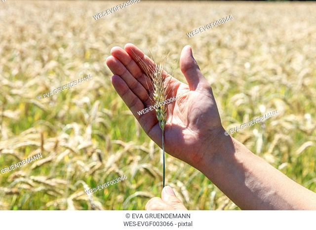 Man's hand holding spike of Triticale